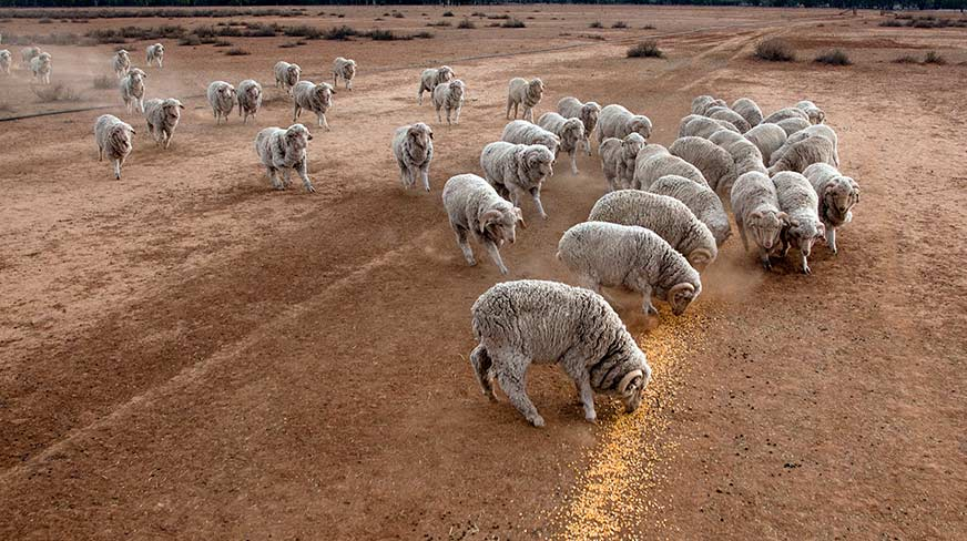 drought sheep ipcc report agriculture climate change - optimised